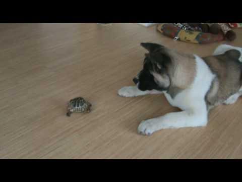 Ακίτα VS Χελώνα