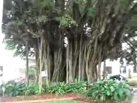 Bat Tree in Cairns
