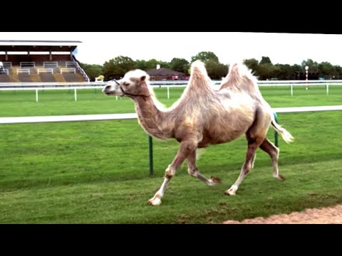 Camel Racing In Slow Motion Feat. Epic Fall - Slo Mo from Earth Unplugged