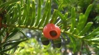 Arbol de hoja perenne cuidar de tus plantas es for Ver fotos de arboles de hoja perenne