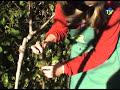 planter les kiwis