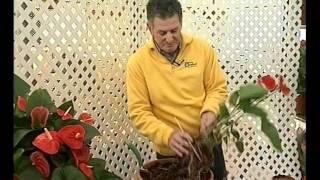 El jardinero en casa - Anturios