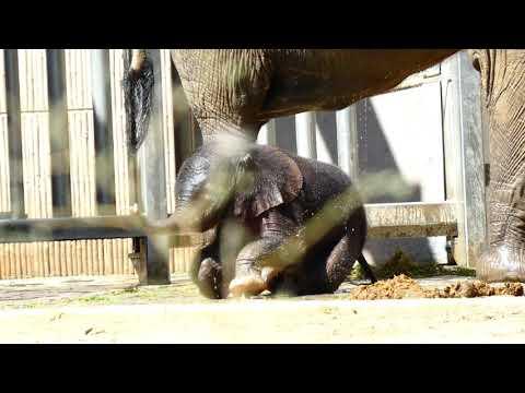 Schönbrunn Elefantenbaby heißt Kibali! 9 Tage alt! Geburt: 13. 7. 2019! Elephantida – Lumix fz82/83