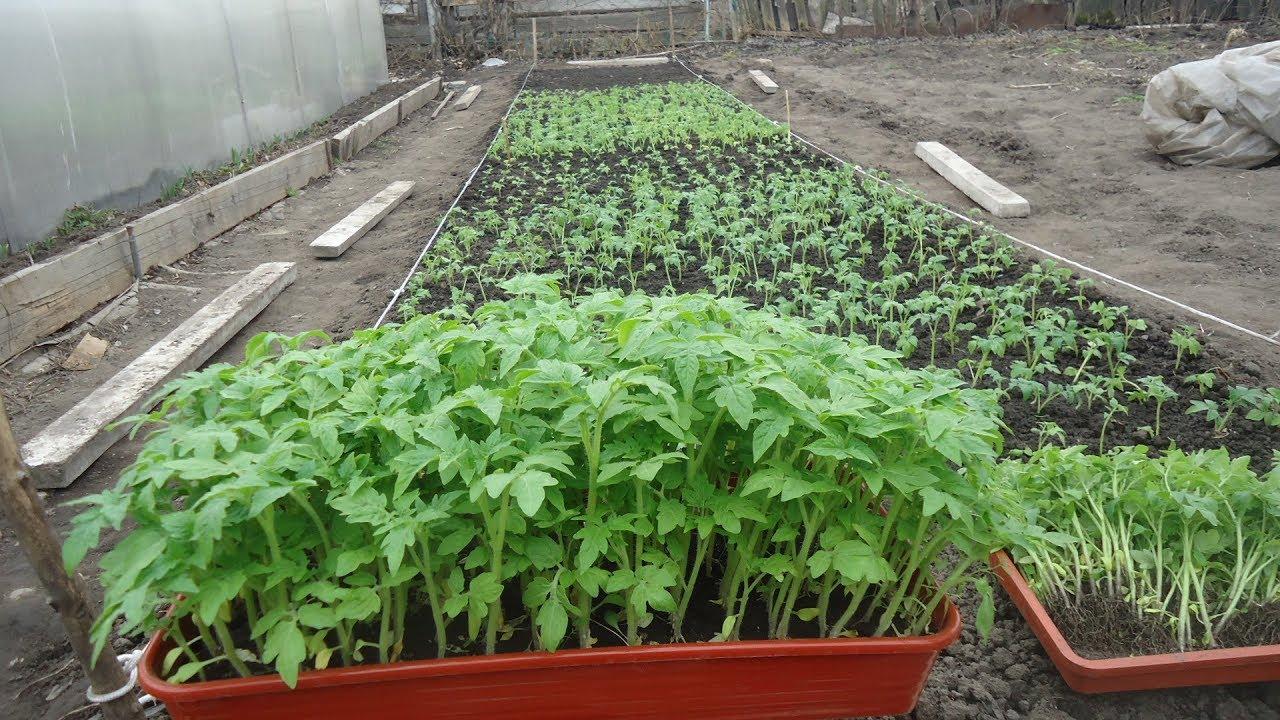 Как вырастить рассаду помидоров для теплиц 614