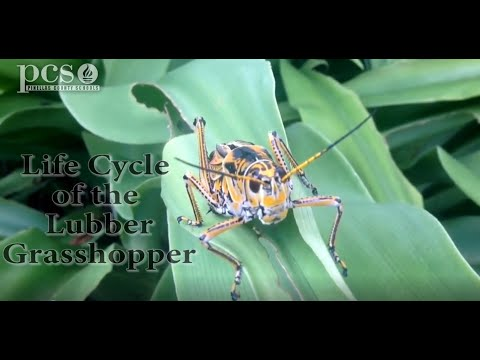 Life Science at a Social Distance: The Lubber Grasshopper