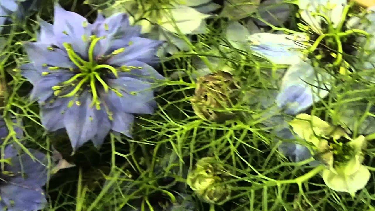 Нигелла альбина выращивание из семян 97