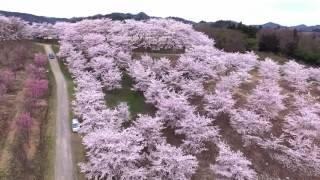 伊達市の桜シリーズ 紅屋峠千本桜