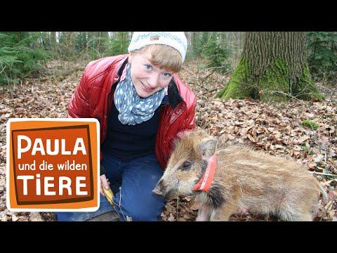 Ein Wildschwein zum Kuscheln (Doku) | Reportage für Kinder | Paula und die wilden Tiere