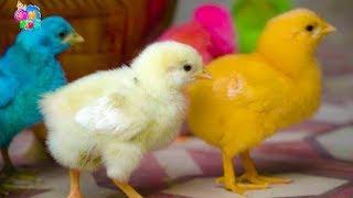 Đàn gà trong sân ♫ Gà con ơi ♫♫♫ Nhạc thiếu nhi vui nhộn sôi động hay nhất