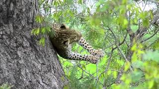 Leopard playing behaviour unseen