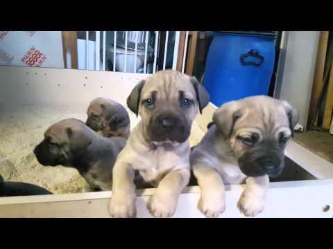 Bandog Puppies For Sale Melbourne