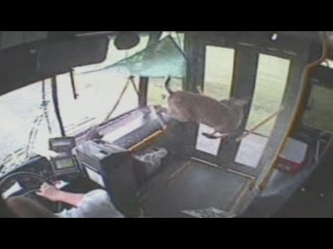CCTV: Deer smashes through bus windscreen