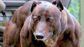 KHÁM PHÁ   Những Giống Chó Hung Dữ Và Nguy Hiểm Nhất Thế Giới