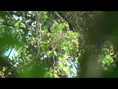 Banded leaf monkey (Presbytis femoralis) in Singapore: Specific...