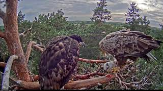eagle killing baby swan Merikotkas 18 Jun 18  PM