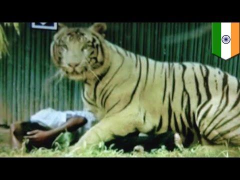 VIDEO: Rare white tiger, pinatay ang isang lalaki sa New Delhi Zoo!