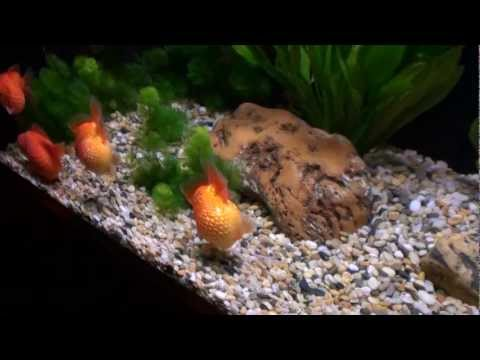 Goldfish Aquarium - Ocean Park, Hong Kong 1080p HD (Golf Ball Pearlscale Goldfish Tank)