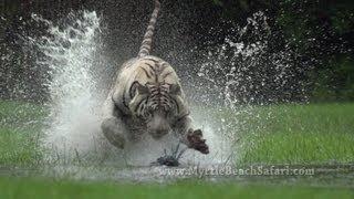 NEW!! TIGER RUN - Myrtle Beach Safari