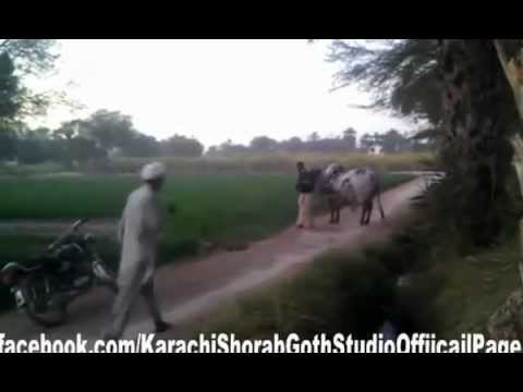 DUA CATTLE -White & Brown Sahiwaal + Cholistan Bull 2012 -