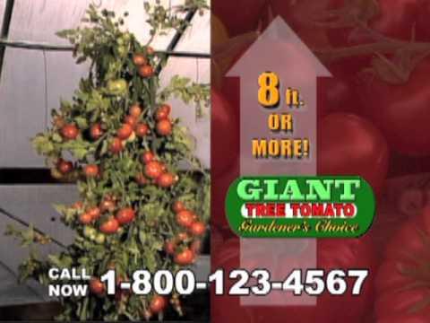 Grows up to 8 feet tall giant tomato tree reviews giant tomato tree