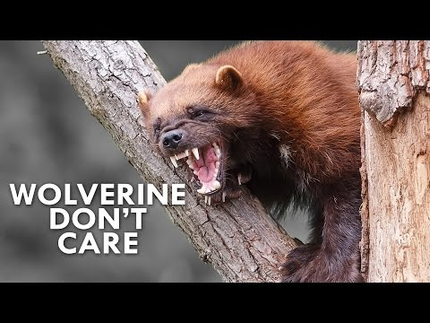 Wolverines Are the Honey Badgers of the North