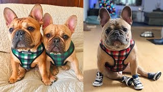 ❤️ Cute and Funny French Bulldog Doing Funny Things # 1 | 2019 | Cute Pets ❤️
