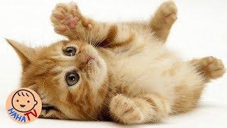 Chú Mèo Con | Nhạc Thiếu Nhi Sôi Động Cho Bé | HAHA TV