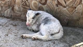 Какой милаха малыш у тибетских яков! Тайган. The kid in the family of Tibetan yaks. Taigan. Crimea.