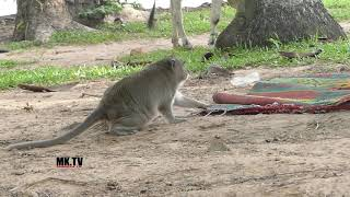 Sok monkey vs snake /  Wow ! the snake come to visit photographer 😂😂😂 !!!