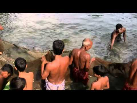 Catching Fish in Bangladesh Village (lots of fishes)