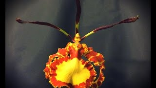 Psychopsis Plants Update and Blooms.