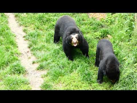 Brillenbär (Tremarctos ornatus) Andenbär Superzoom spectacled mountain bear FZ82 Ours à lunettes Sex