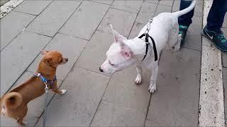 Badi Kendine Dogo Arjantin Cinsi Kanka Buldu (Chihuahua vs Dogo)