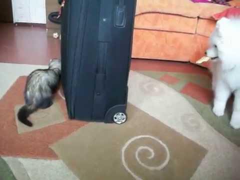 小犬とフェレットが仲良く...