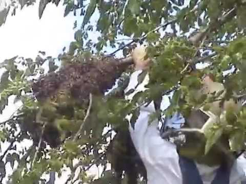 Catching A Bee Swarm With Bare Hands In New Lebanon, Oh