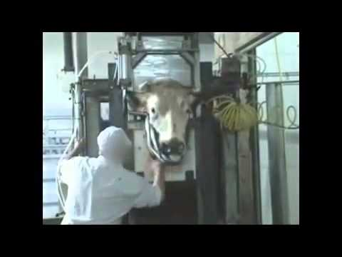 Abattoir Halal - Les abattages rituels