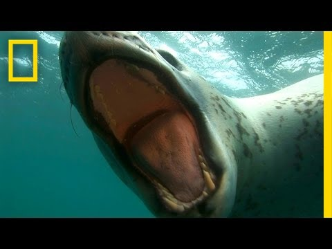 Diver Encounters Deadly, 13-foot Leopard Seal video