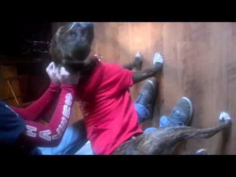 Braveheart Pit bull Rescue in Lakeville MA