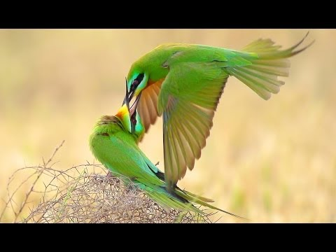 Зеленые Щурки.  Драка. Merops persicus. Blue-cheeked Bee-eater. Fight.