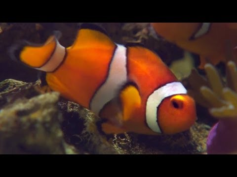 Nemo is a HERMAPHRODITE! - Smarter Every Day 115