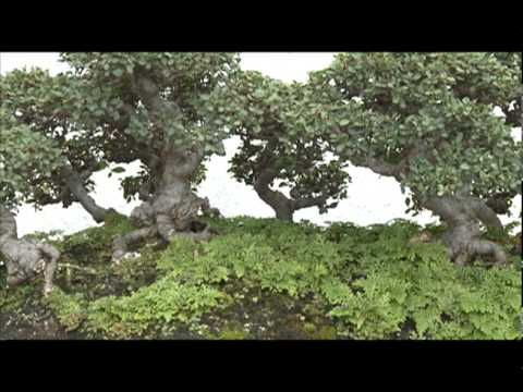 400 -Year-Old Bonsai Survived Hiroshima Bombing