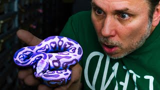 YOU WON'T BELIEVE THE COLOR OF THESE SNAKES!! | BRIAN BARCZYK