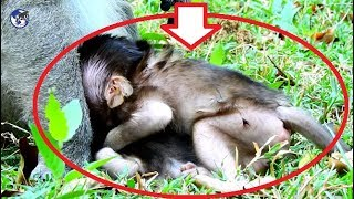 OMG  baby monkey so scare request king Eugene groom- Why Donkey want bite baby Bronco.