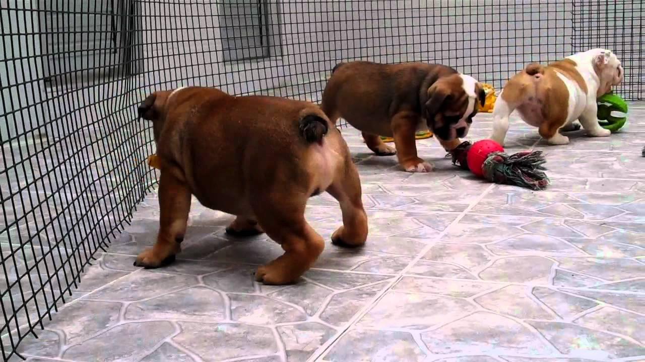 Big English Bulldogs English Bulldog Puppies For