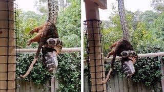 Massive Python Eats Possum In Backyard