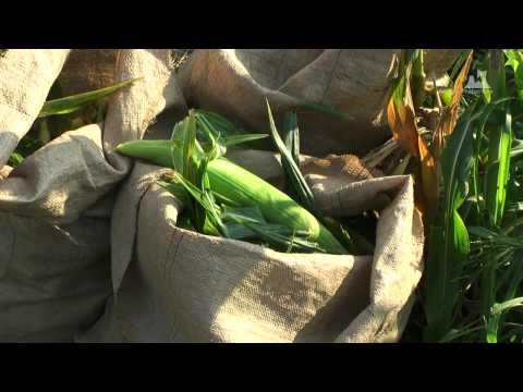 嶽きみ(だけきみ)収穫風景 - 収穫物 - 0442A