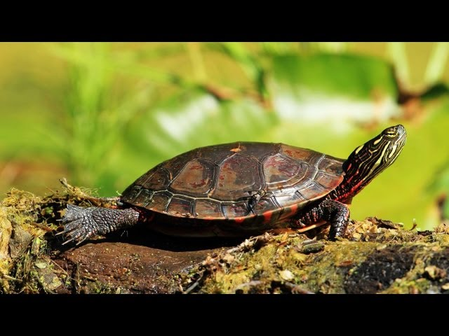 How to Determine a Turtle's Age | Pet Turtles