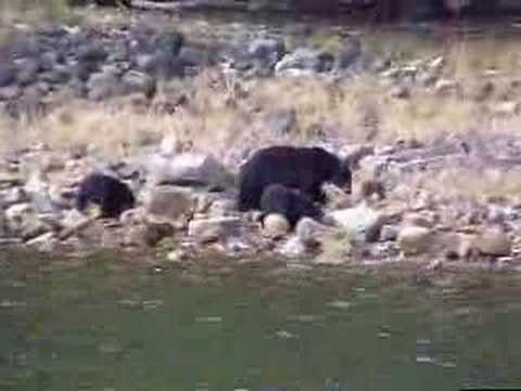 Bear cubs and mother hunting for shore crabs