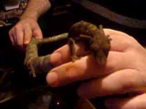 One of my Uroplatus henkeli (Henkel's leaf-tail gecko) Video