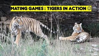 Tigers Mating | Ranthambore | T28 Star Male